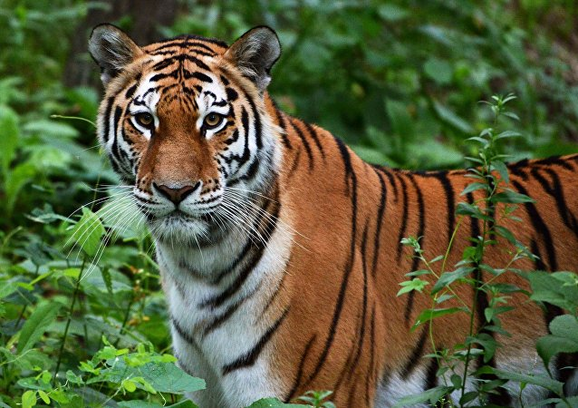 世界自然基金会:亚洲野生虎种群数量或增加两倍