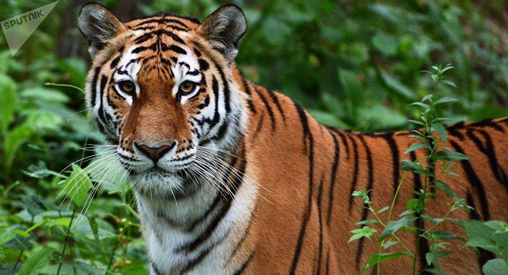 学者:未来数年没有把治愈的老虎放往中国的计划
