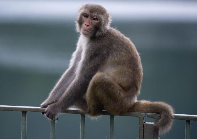 中科院:中國科學家成功掌握體細胞克隆猴技術
