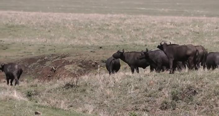 陷阱:狮子捕猎水牛的镜头被拍下(视频)