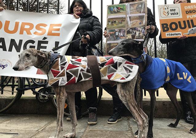 巴黎举办反对虐待意大利灰狗的抗议活动