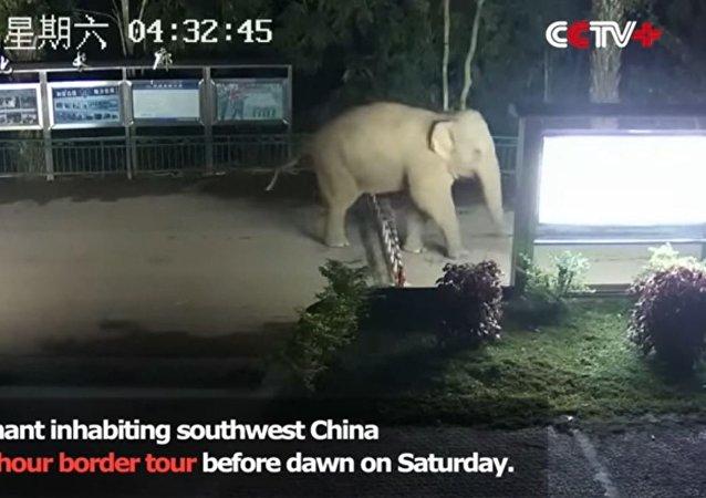 一頭大象非法穿越中老 邊境