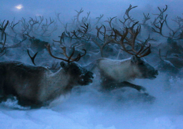 俄涅涅茨克自治区州长:鹿全身是宝 应当发展养鹿业