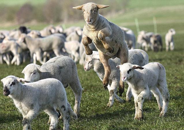 英國誕生一隻五蹄羊羔