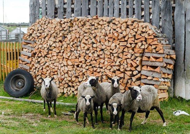 農場牲畜遭驚嚇英國軍方賠款二百萬英鎊