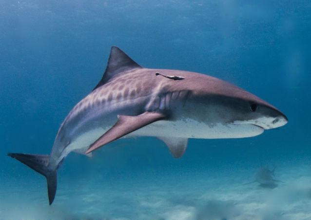 網上公開虎鯊魚和海龜打鬥視頻