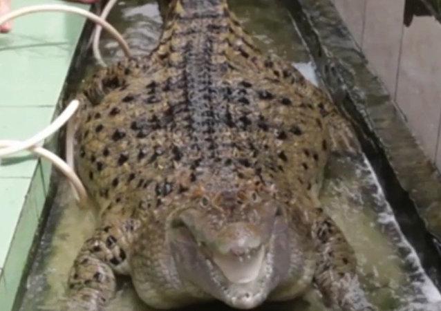 印度一个家庭养了一只200公斤的肥鳄鱼