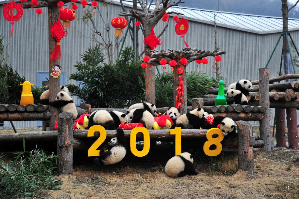 農歷新年前夕,中國臥龍大熊貓自然保護區的大熊貓在玩裝飾品