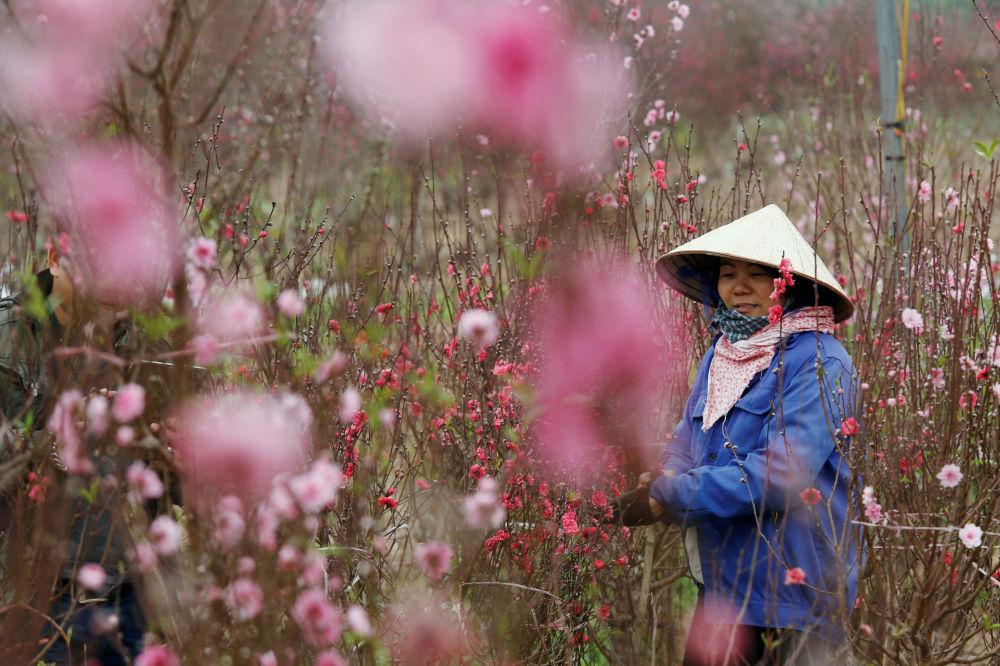 越南河內,一名農民在桃花園種花,準備在農歷新年前出售
