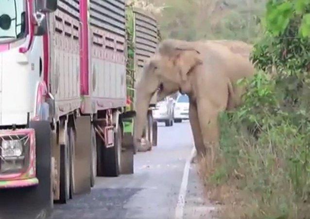 泰国一头决定直接在公路上吃甘蔗的巨象致使交通瘫痪