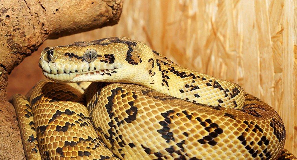 緬甸發現最古老的幼蛇琥珀