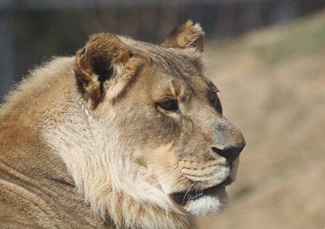 美國一頭母獅長出獅鬃