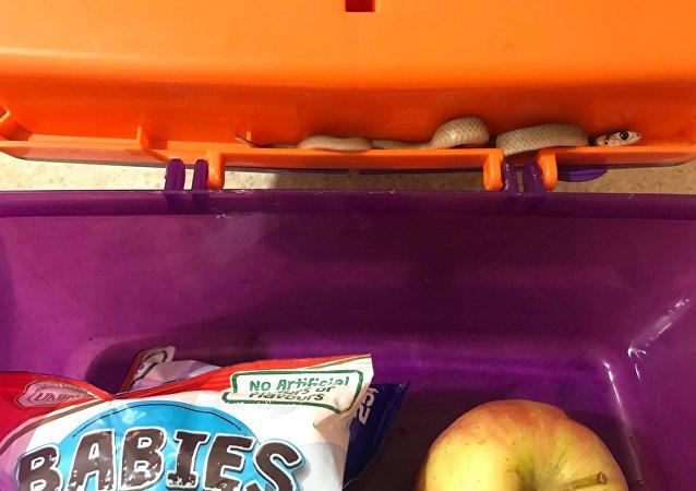澳大利亚学校早餐中发现世界上毒性最大的蛇