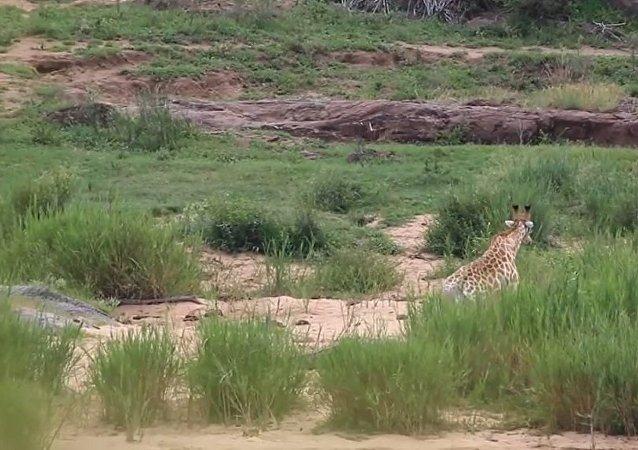 与鳄鱼搏击幸存的长颈鹿被狮子吃掉