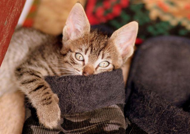 俄羅斯科學家正研發一款對貓過敏的疫苗