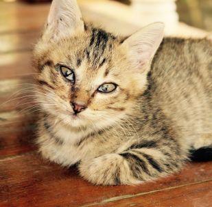 研究:现代猫的个头比维京时代大