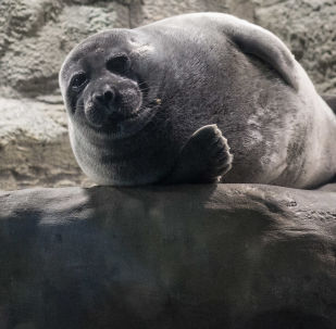媒体:48只俄罗斯海豹将落户天津