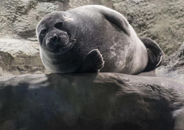 媒體:48只俄羅斯海豹將落戶天津