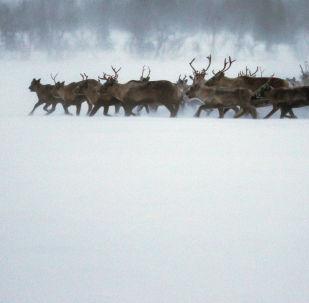 俄亞馬爾-涅涅茨自治區計劃與中國在鹿產品加工領域進行合作