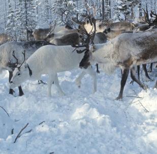 俄媒:中國制藥企業在俄購買北極馴鹿角