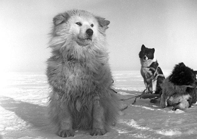北方莱卡犬
