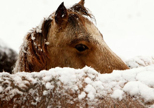雅库特和韩国科学家或会克隆出古代马种的马驹