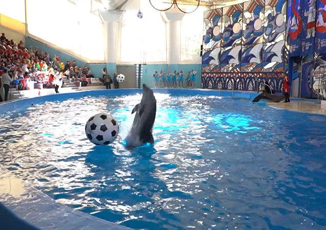 世界杯倒计时100天 索契海豚踢球庆祝