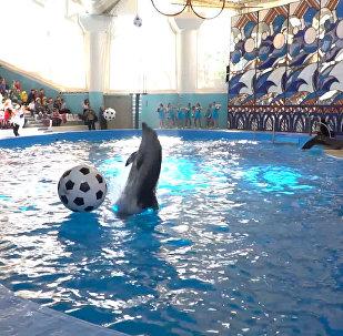 世界杯倒計時100天 索契海豚踢球慶祝