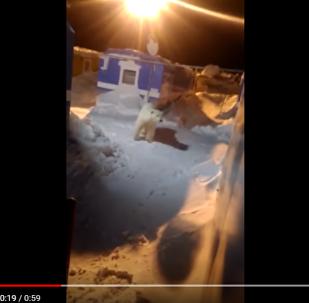 北极熊误入俄罗斯一处宿营地