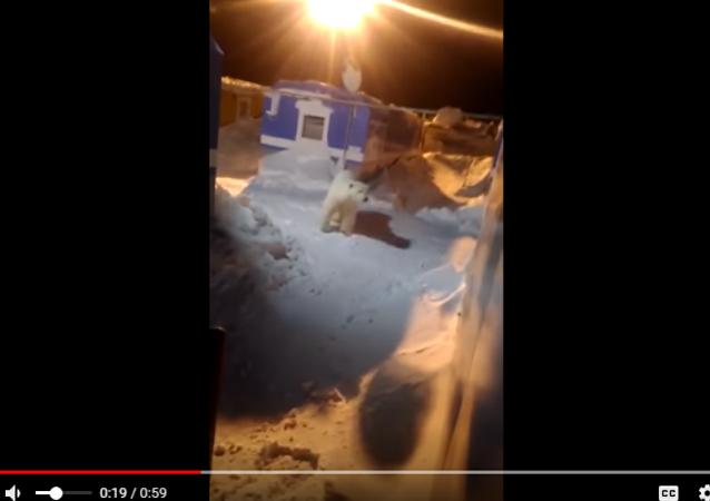 北極熊誤入俄羅斯一處宿營地