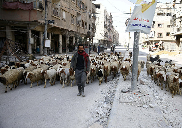 A man walks with a herd of sheep are seen in the besieged town of Douma, Eastern Ghouta
