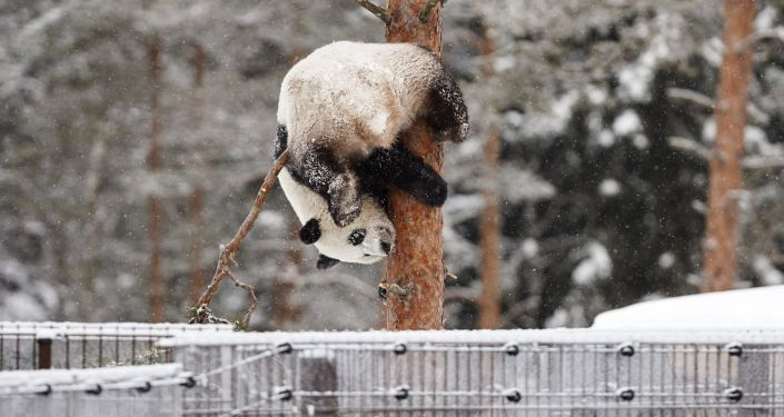 芬蘭動物園計劃對參觀熊貓館的訪客提供配額