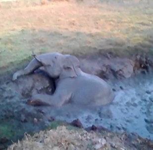 印度一村庄用挖掘机营救小象