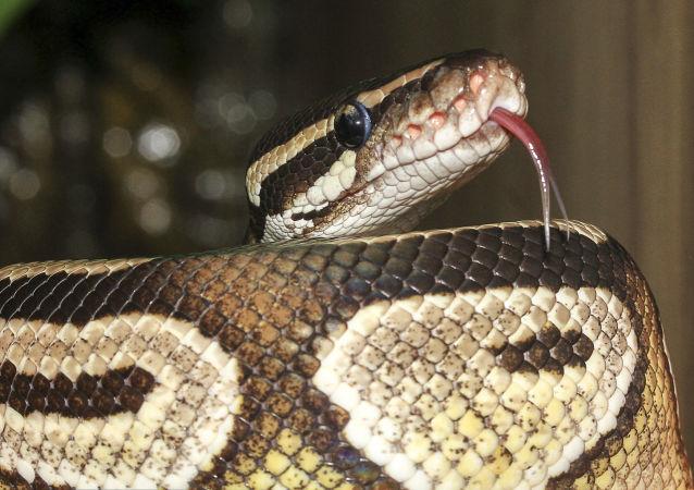 美国现罕见双头蛇(视频)