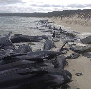150头黑海豚在澳大利亚海岸搁浅