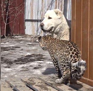 俄远东牧羊犬收养小豹子米拉什