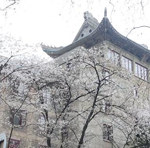 武汉樱花开满城