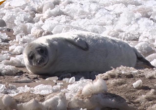 小海豹波羅的海岸邊曬太陽