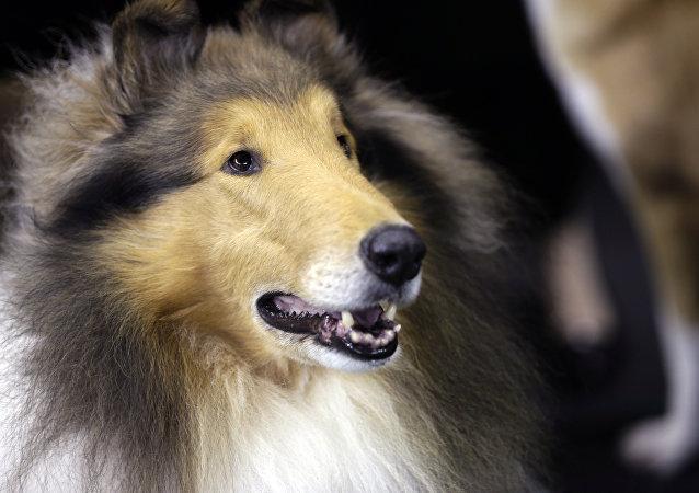英国一只被用汉堡喂肥的狗被从主人那里带走减肥