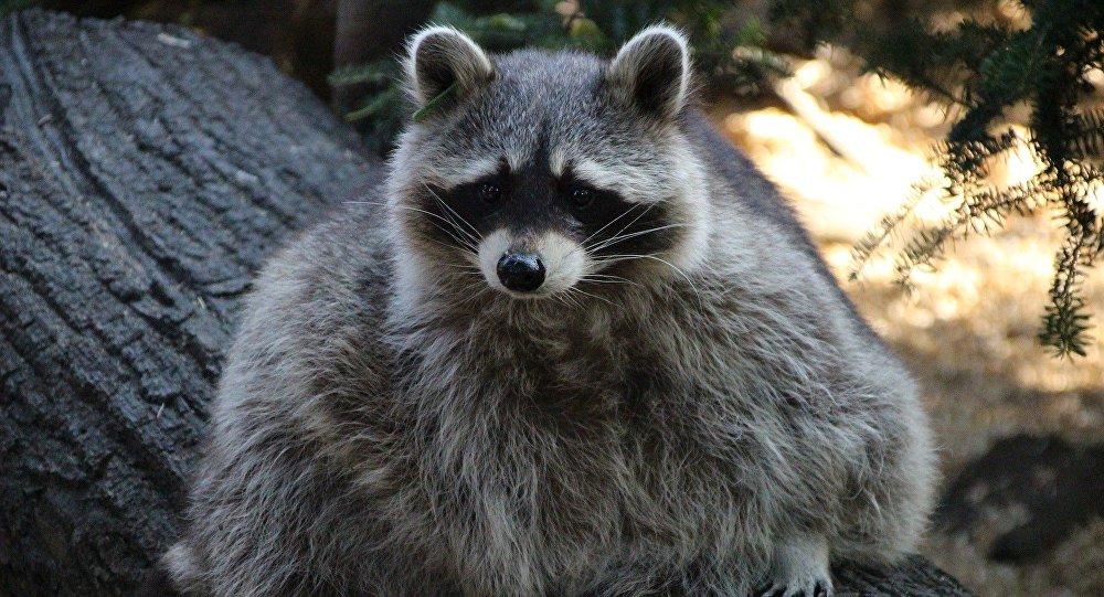 全美民眾關注爬上摩天大樓23樓浣熊的命運