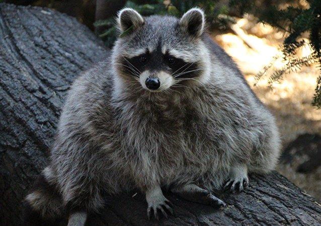 美国俄亥俄州的居民们向警方报告遭到僵尸浣熊的侵犯