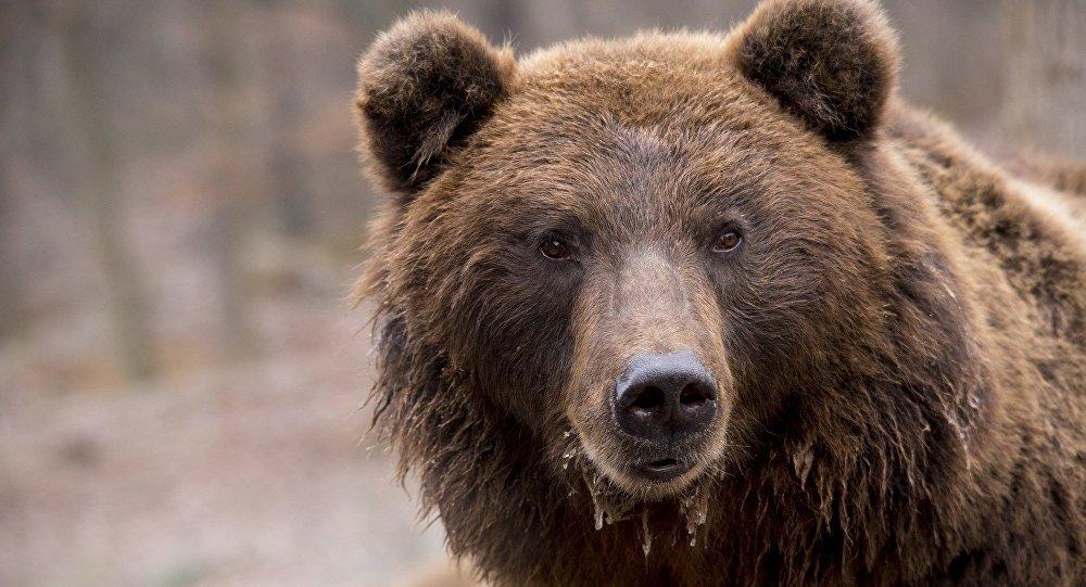 美国小熊因友好而被提议药死(视频)