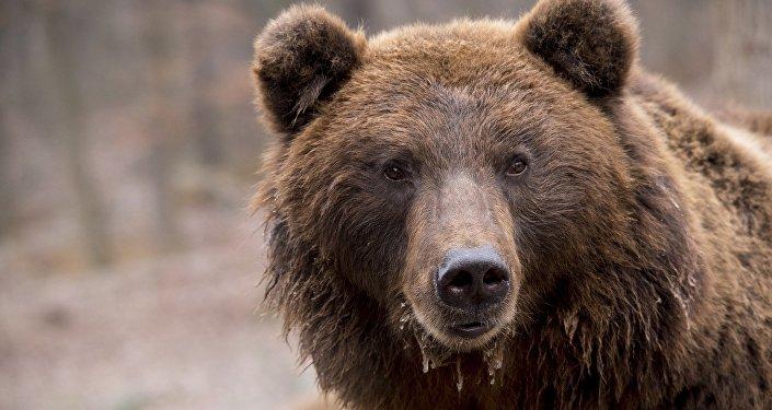一头熊为从拉托维亚进入俄罗斯境内而坏拉了两国之间的边界护栏