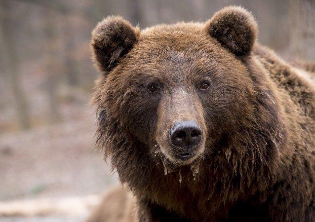中國公民試圖將熊爪從哈巴羅夫斯克運往哈爾濱