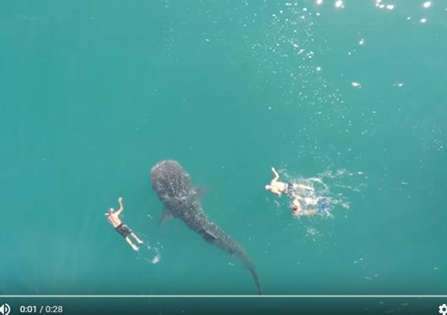摄影师拍到人鲨和谐同游画面