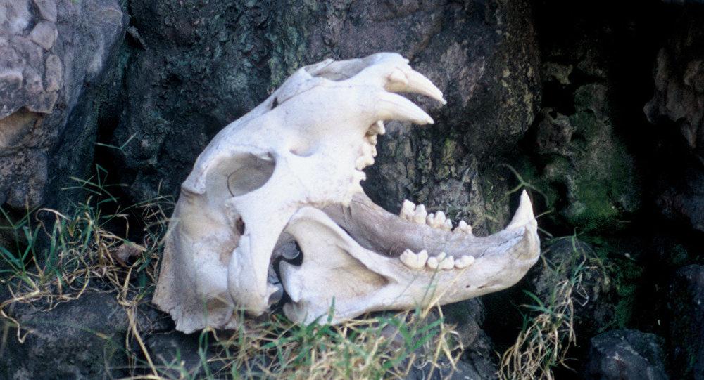 非洲現最大獅頭骨