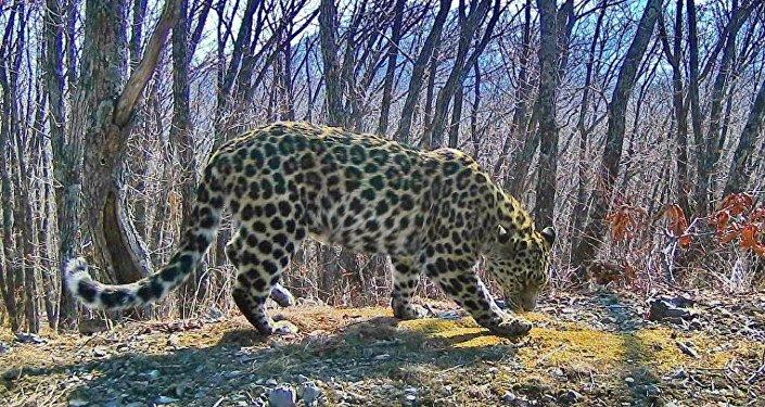 俄罗斯远东豹成年豹的数量增至91只