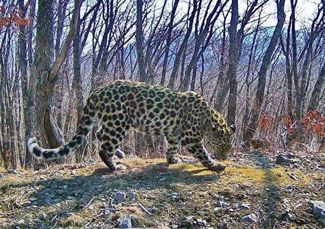 俄官员:设立俄中跨境保护区将增加中国境内豹子数量