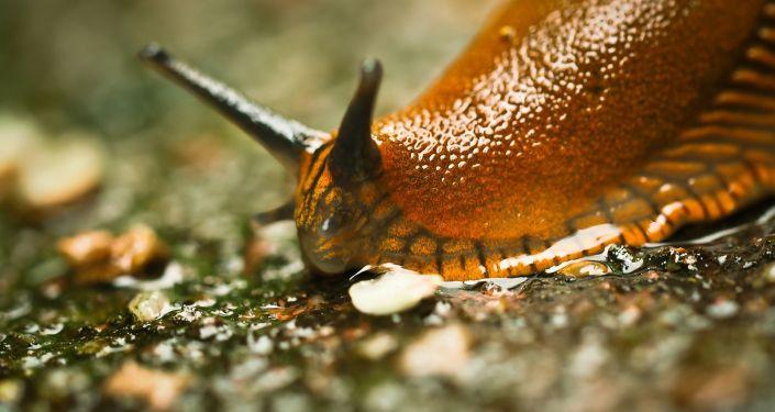 俄克里米亚化妆品公司计划向中国推出蜗牛精华霜