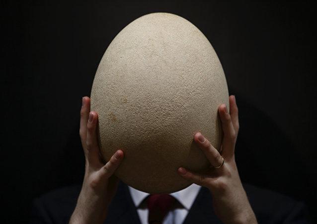 美国水牛城发现已灭绝的巨大隆鸟蛋